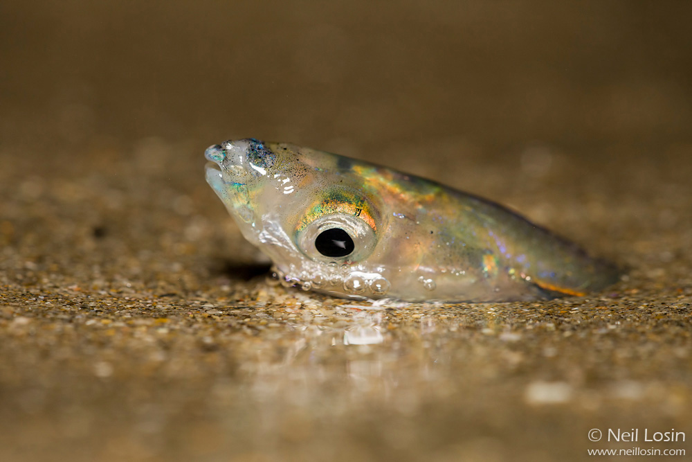A female California Grunion ( Leuresthes tenuis ) burrows into the sand to lay her eggs on a southern California beach.