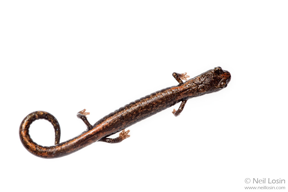 The San Gabriel Slender Salamander ( Batrachoseps gabrieli ) was not formally described until 1996, and it only inhabits a few north-facing talus slopes in the San Gabriel Mountains of Los Angeles County, California. Photographed for the Meet Your Neighbours project.