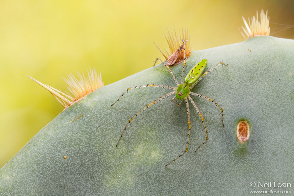 A Green Lynx Spider ( Peucitia  sp.) on a cactus at Brackenridge Field Laboratory in Austin, Texas.