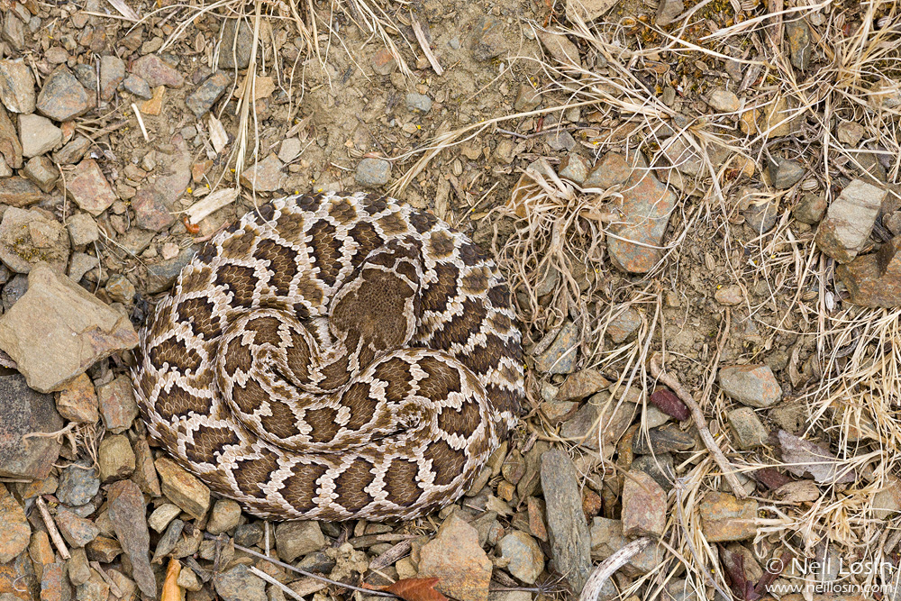 A Southern Pacific Rattlesnake ( Crotalus helleri ) in the southern California chaparral.