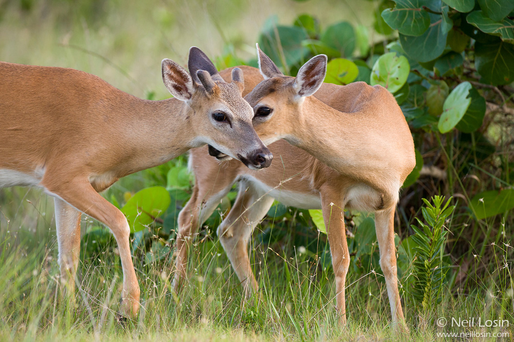 Two endangered Key Deer ( Odocoileus virginianus clavium ) nuzzle in Big Pine Key, Florida.