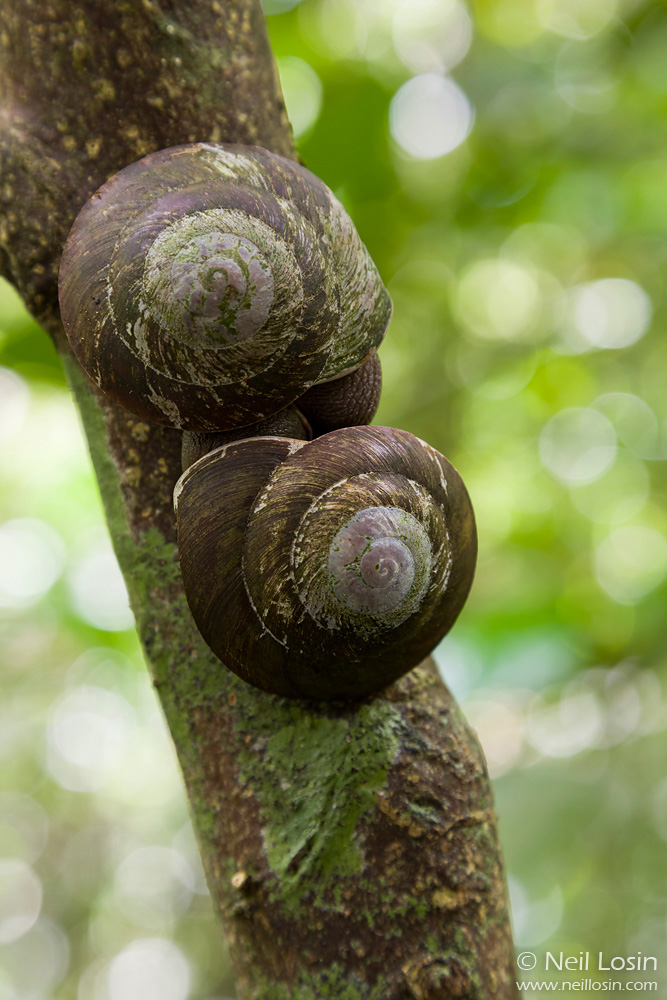 Two tree snails ( Caracolus caracolla ) copulate in Puerto Rico's El Yunque National Forest.
