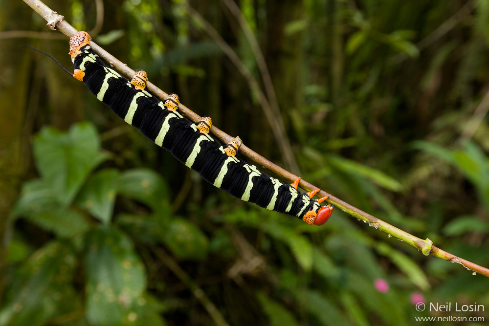 An enormous sphinx moth caterpillar ( Pseudosphinx tetrio ) in El Yunque National Forest, Puerto Rico.