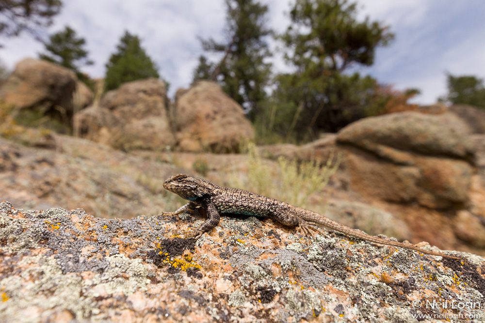 A male Plateau Fence Lizard ( Sceloporus tristichus ) at Rocky Mountain National Park in Colorado. With some leads from the NPS, I documented this species for the first time in RMNP during the 2012 National Geograhic / NPS BioBlitz.