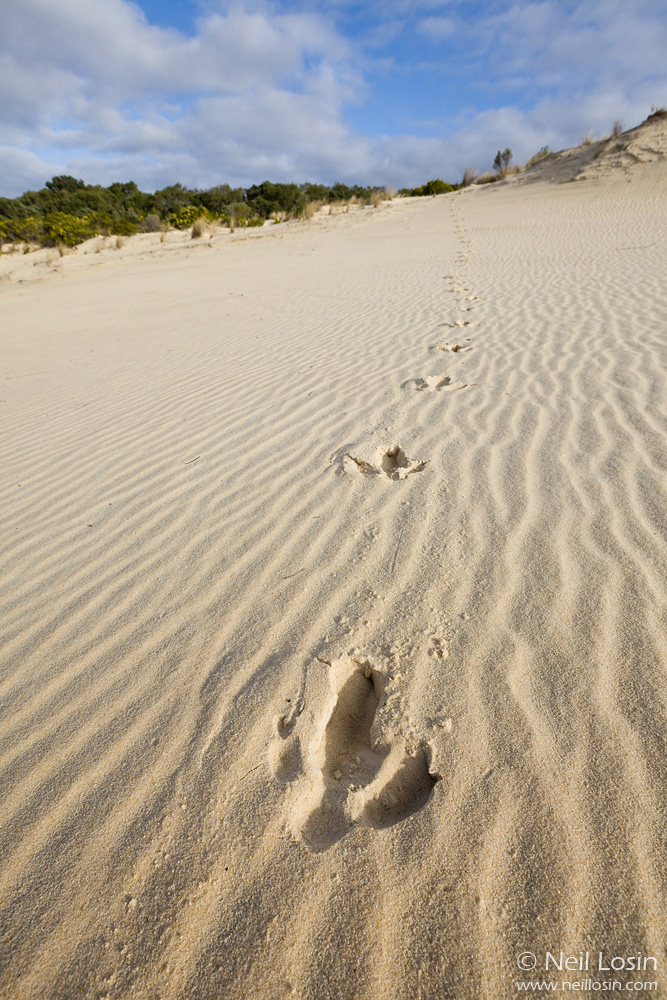 Emu ( Dromaius novaehollandiae ) footprints at the Yeagarup Dunes, D'Entrecasteax National Park, southwest Australia.