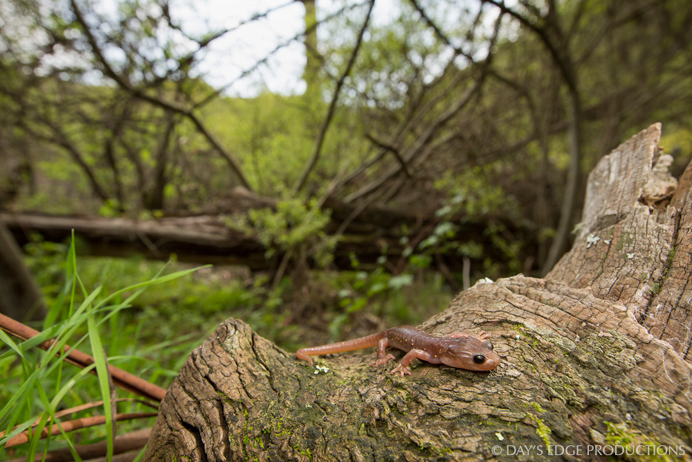 Arboreal Salamander ( Aneides lugubris ) at Tennessee Valley, California. Photographed during the 2014 National Geographic / NPS BioBlitz.