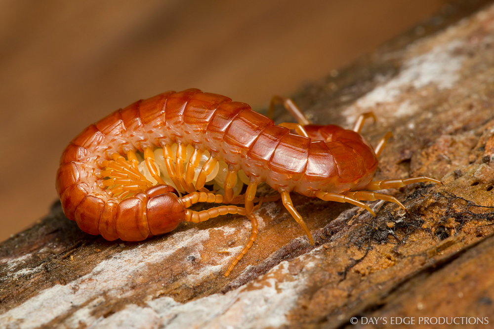 A red centipede ( Scolopocryptops spinicaudus ) guards her eggs in Tennessee Valley, California. Photographed during the 2014 National Geographic / NPS BioBlitz.