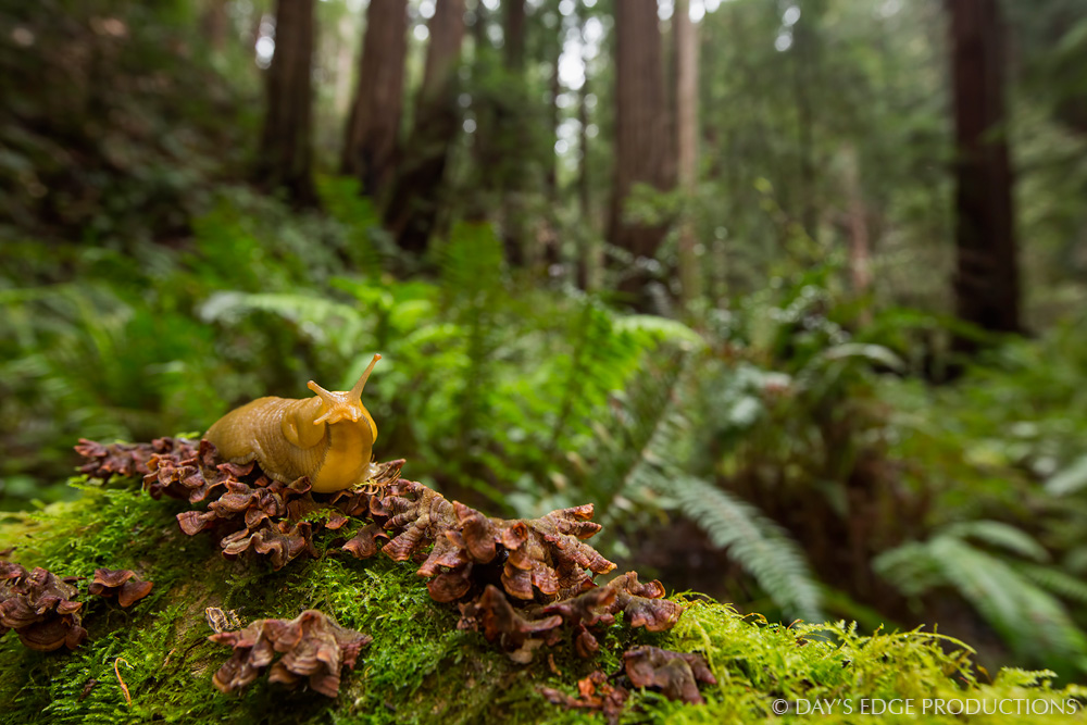Banana Slug ( Ariolimax  sp.) among Coast Redwoods (Sequoia sempervirens) in Muir Woods, California. Photographed during the 2014 National Geographic / NPS BioBlitz.