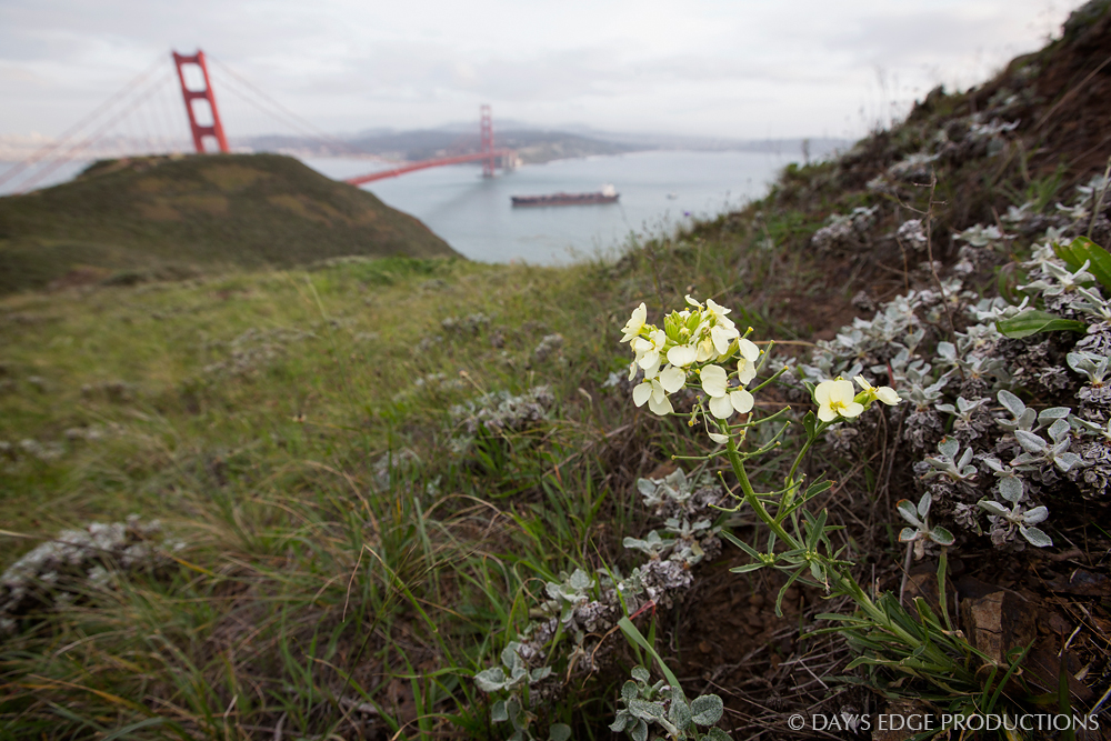 San Francisco Wallflower ( Erysimum franciscanum ), a rare plant with a tiny geographic range, in the Marin Headlands, California. The Golden Gate Bridge is in the background.