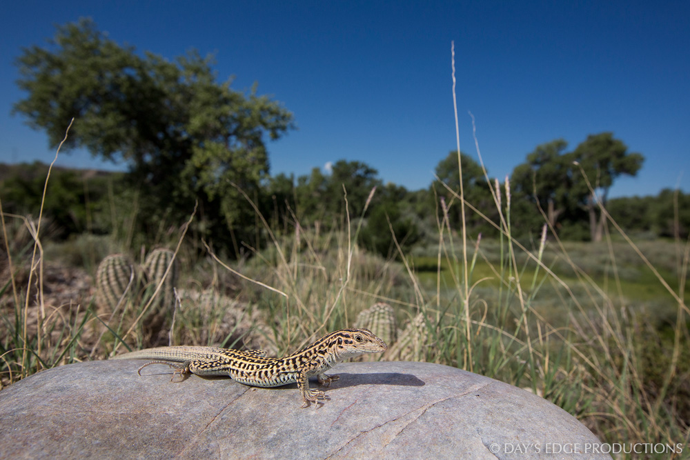 The Triploid Checkered Whiptail ( Aspidoscelis neotesselata ), a lizard endemic to just a few Colorado counties, has three sets of chromosomes in its cells, each derived from a different species. With this unusual genetic makeup, the whiptail cannot reproduce sexually; all individuals in this species are females that produce fertile young through a process called  parthenogenesis .