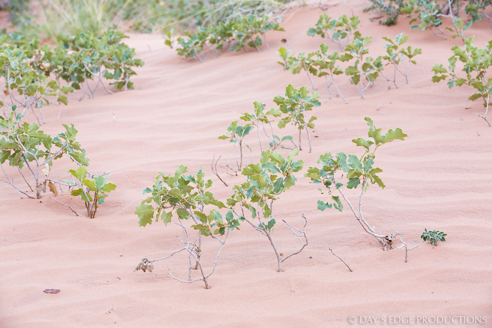 A group of oak seedlings ( Quercus  sp.) emerges through the sand at Canyonlands National Park in Utah.