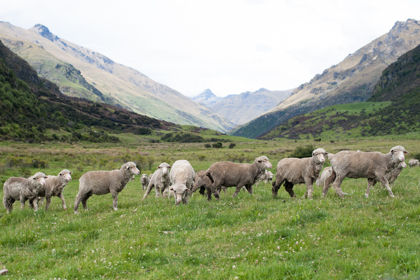 Merino Sheep in Their Natural Element at Cecil Peak Station, New Zealand.
