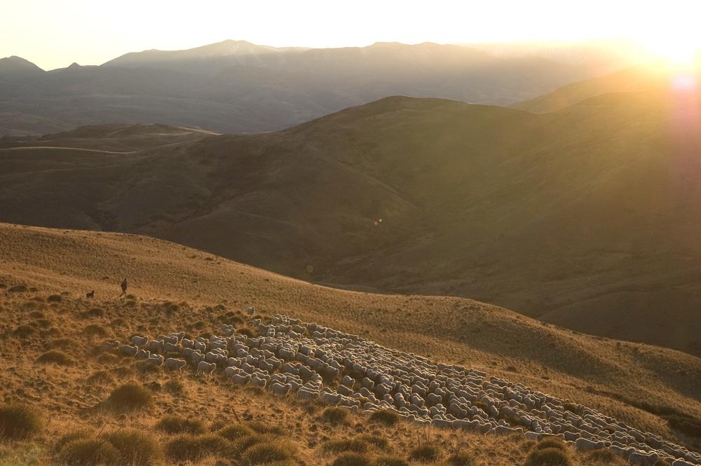 Sunset at a ZQ Merino Ranch in New Zealand (Courtesy of the New Zealand Merino Company)