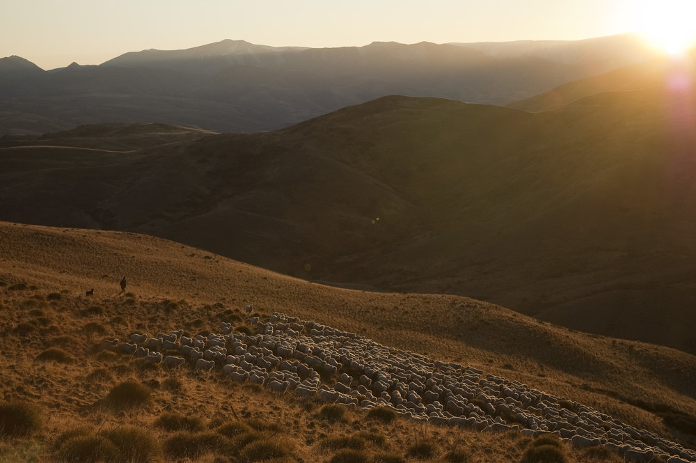 Merino sheep roam mountainous meadows at a ZQ Merino ranch in New Zealand.