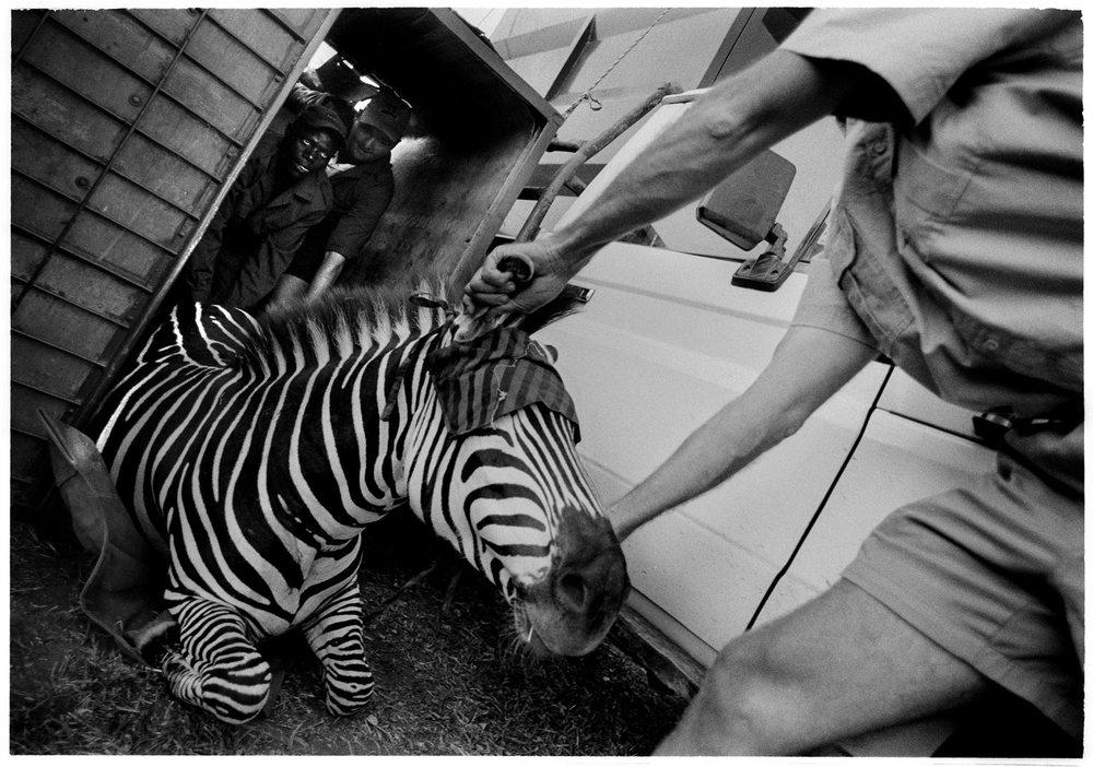 zebra-264:11.JPG