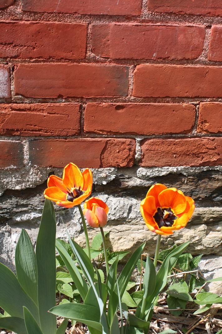 tulips  2015.jpg
