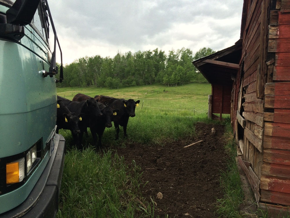 The cows at the Putio place were very curious about the Road Show Tour Bus!