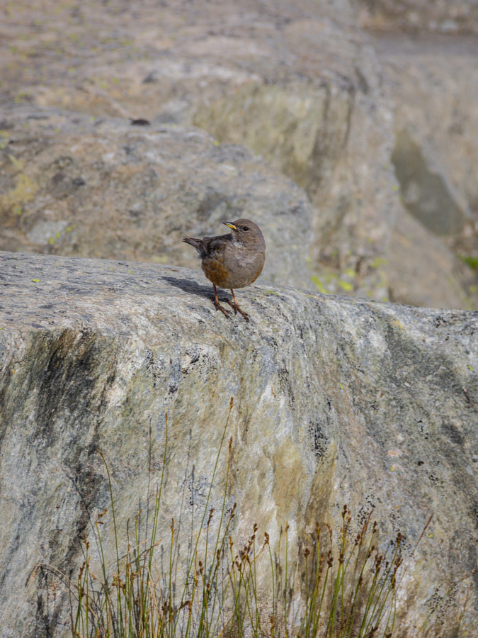 Little Alpine Bird
