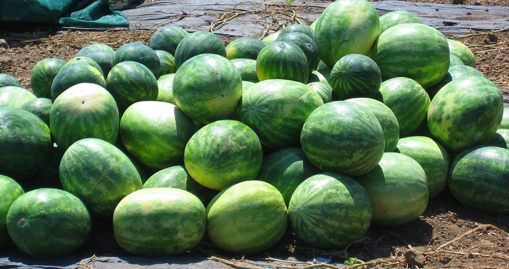 Texas Watermelons Down on the Farm - A Cowboy's Wife