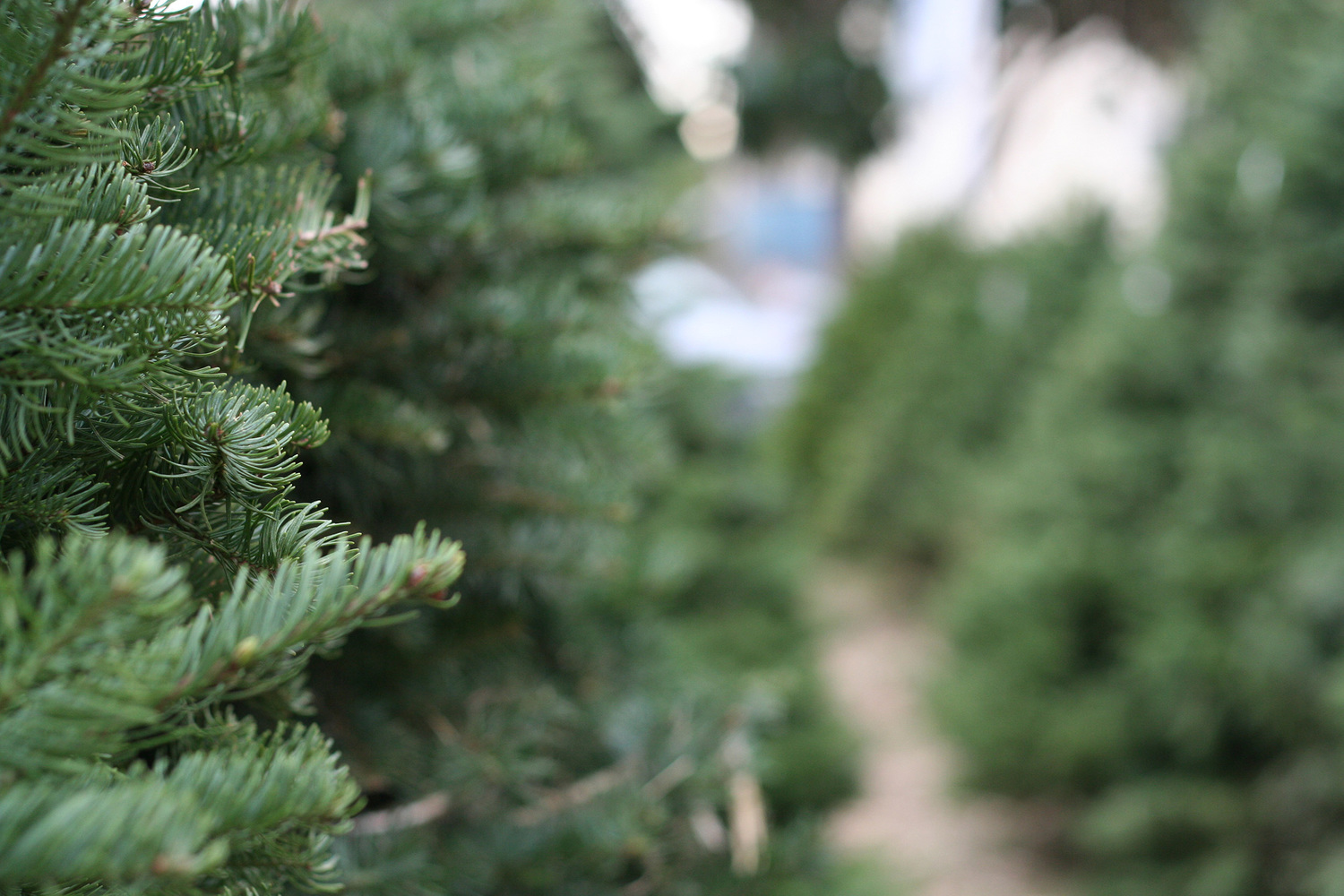 tanaka farms banner christmasjpg - Christmas Tree Farming