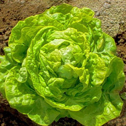 Boston Lettuce - Is a member of the butterhead family of lettuces. As the name implies, the leaves are considered to be like butter. The flavor usually has no hint of bitterness and the leaves will almost melt in your mouth. This lettuce pairs well with fruitier dressings or with sweeter items such as cherry tomatoes or grated carrots. You might even try it with some sliced strawberries!