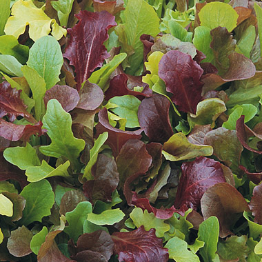 Salad Mix Wildfire  - A truly beautiful mix of lettuces. High-contrast mix with a high percentage of red-leaved varieties. The darkest reds, like Outredgeous, Garrison and Blackjack make up the bulk of this mix, complemented by vibrant greens such as Tango, Royal Oak, Parris Island and Saladbowl. Throw in any other fresh greens that you may have on hand and you have a fantastic salad!