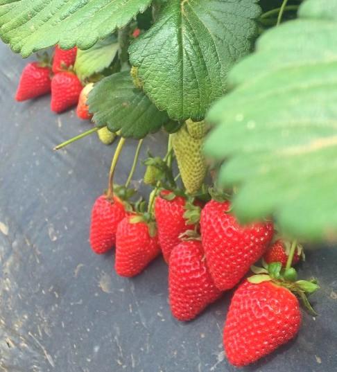 Strawberries on grow bag.jpg