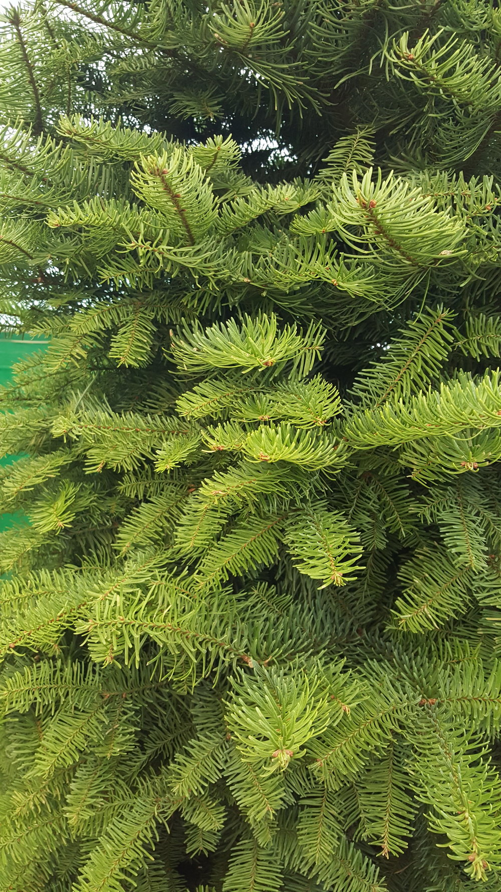 Close-Up Noble Fir