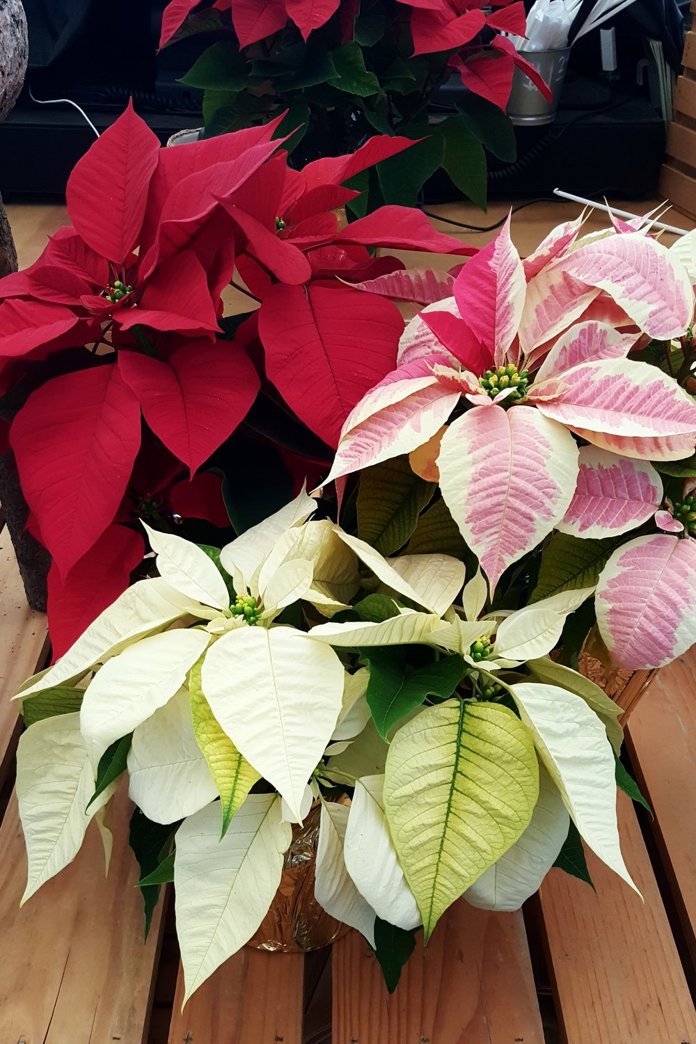 Live Potted Poinsettias