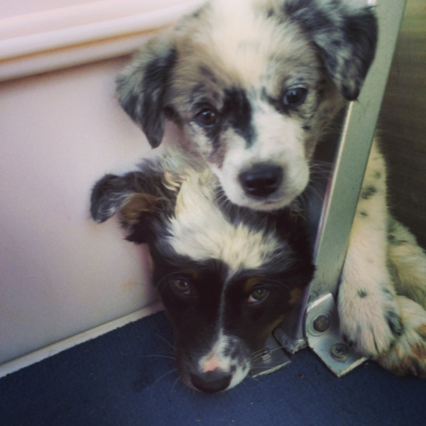 Blue Heeler/Aussie pups on a boat