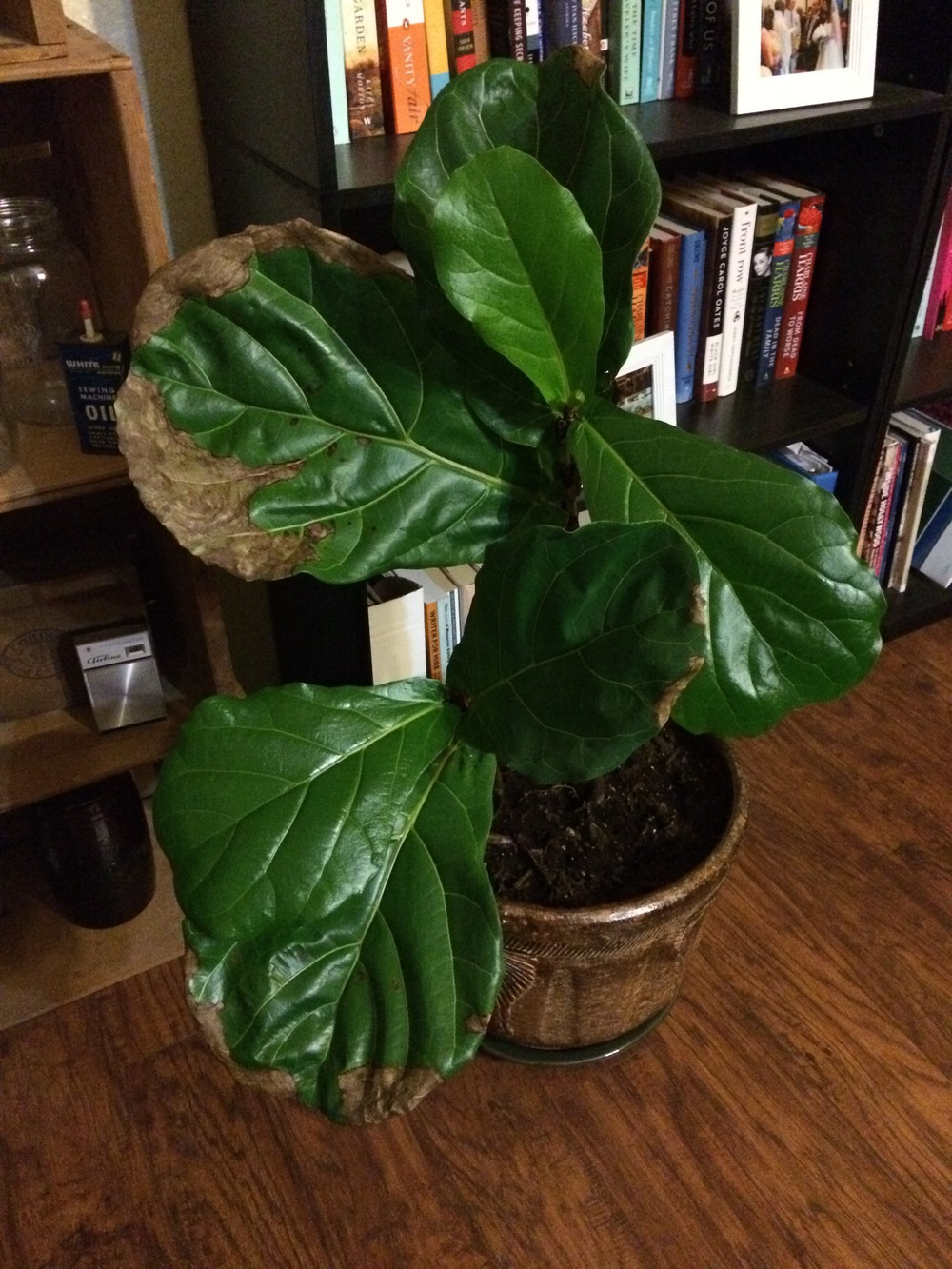 Ferdinand the Fiddle Leaf Fig Tree