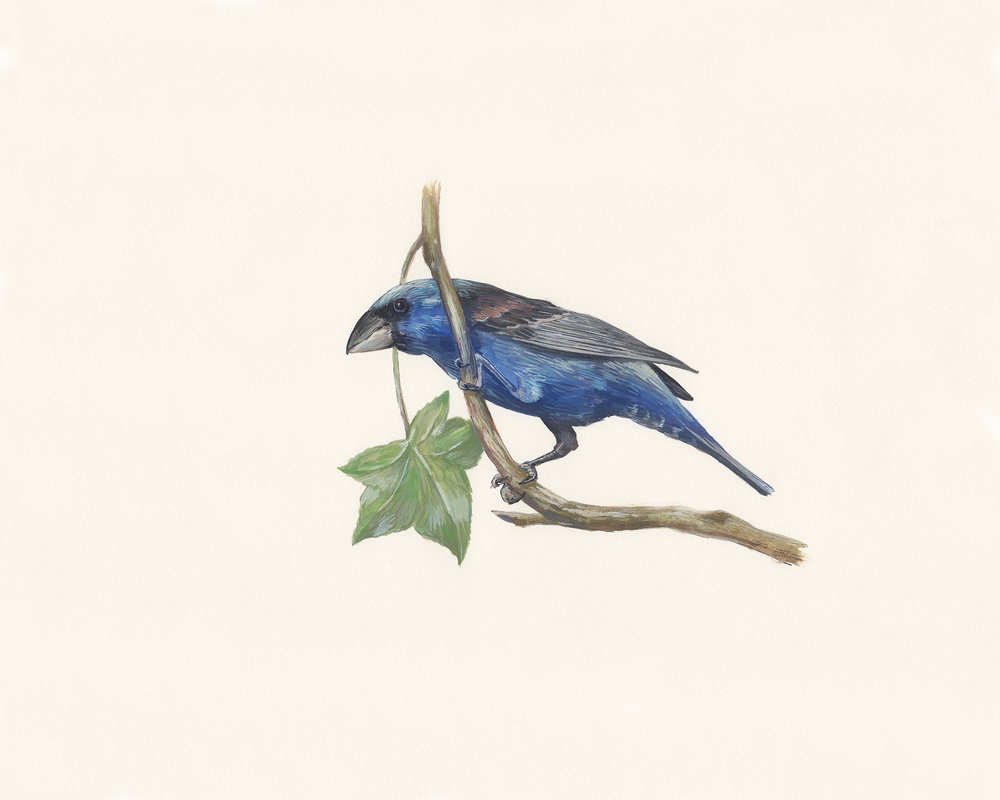 Blue grosbeak. Guache on paper.