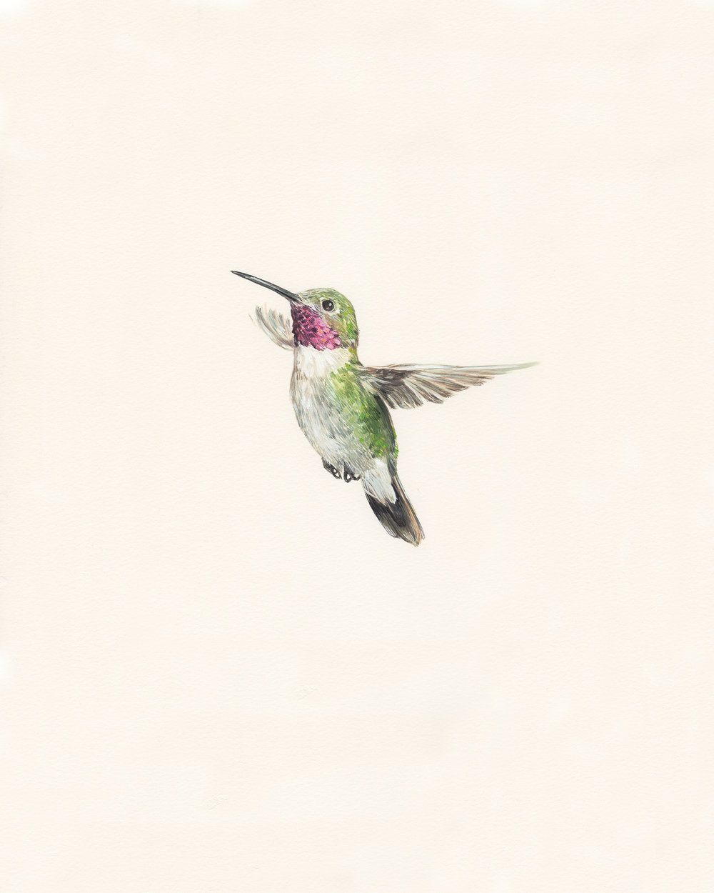 Broad-tailed hummingbird. Guache on paper.