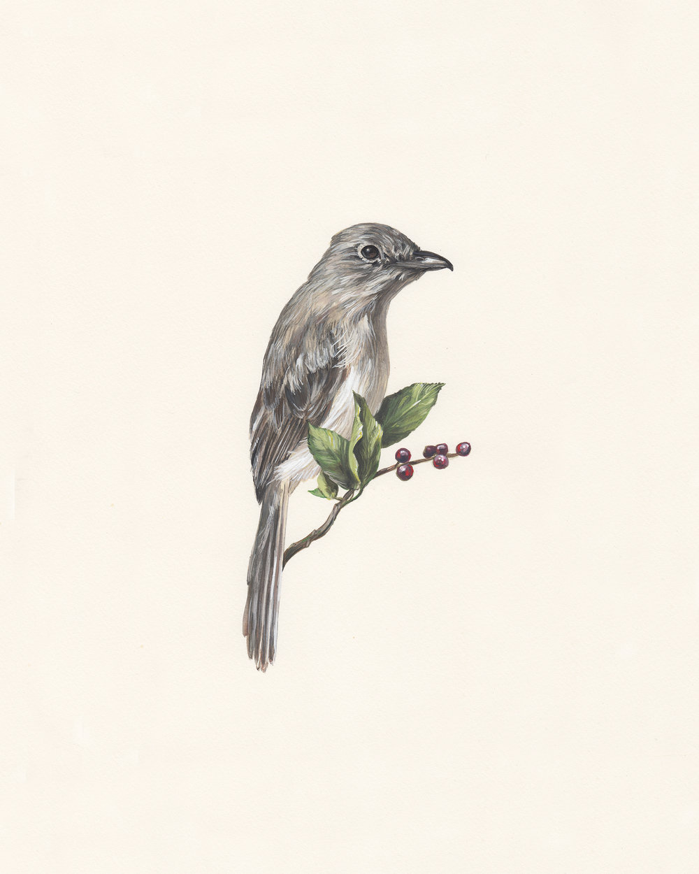 Gray vireo. Guache on paper.