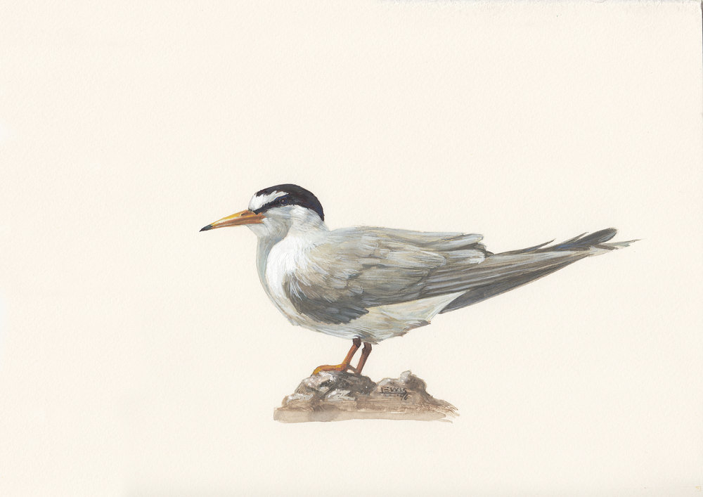 Least tern. Guache on paper.