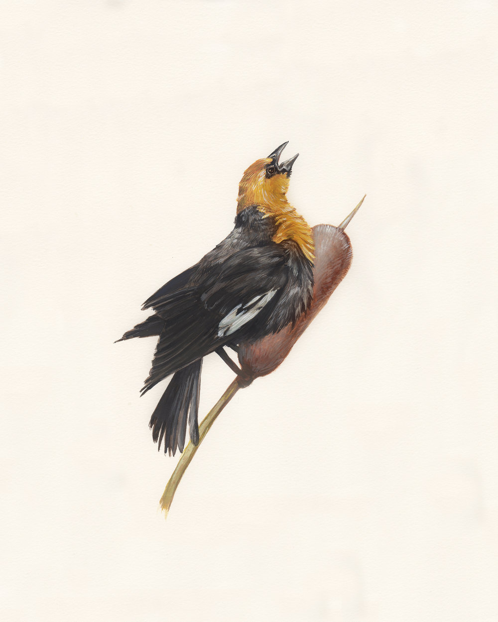 Yellow-headed blackbird. Guache on paper.
