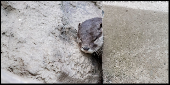 Even otters can get stuck between a rock and a hard place.