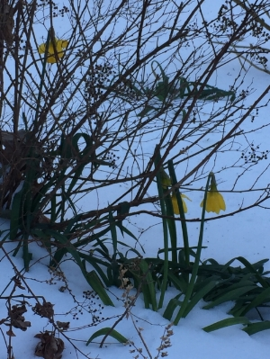 My poor daffodils hanging on during the cold weather.
