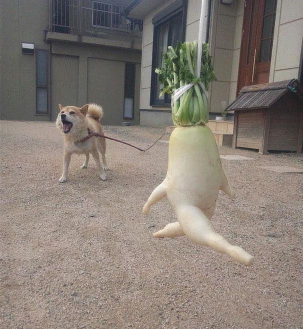Accurate representation of our daikon running away. We assume this dog's name is carrots. Image source: JapanCrush.Com