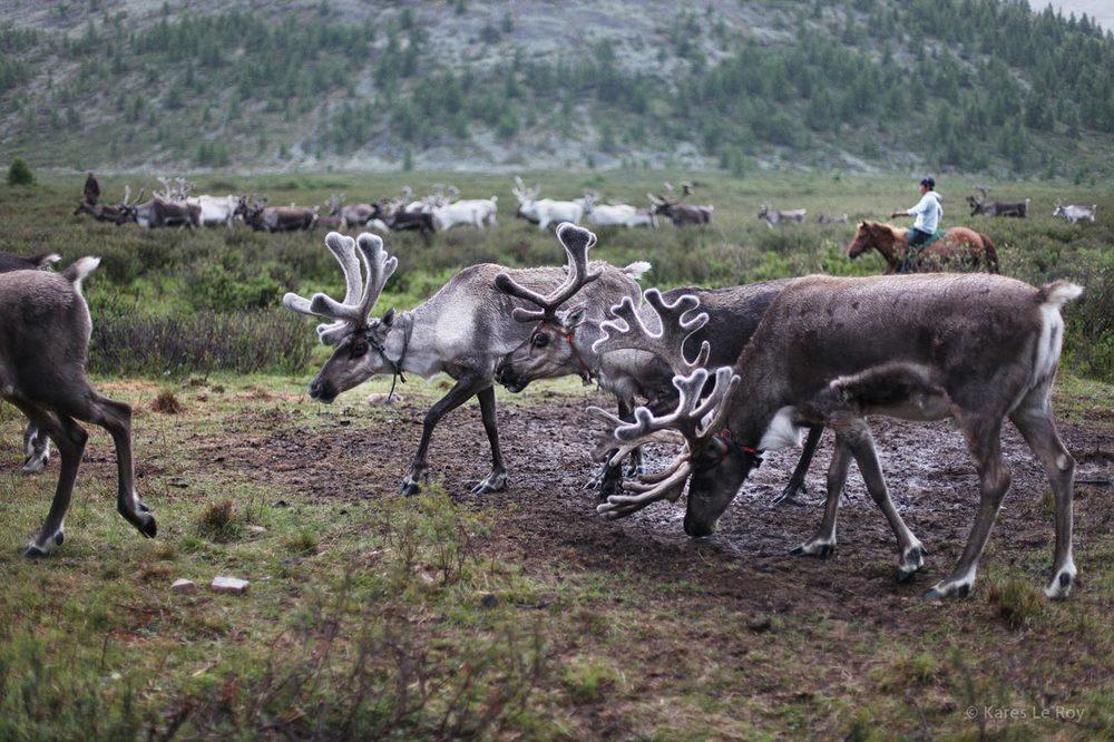L'arrivée des rennes après une journée de marche