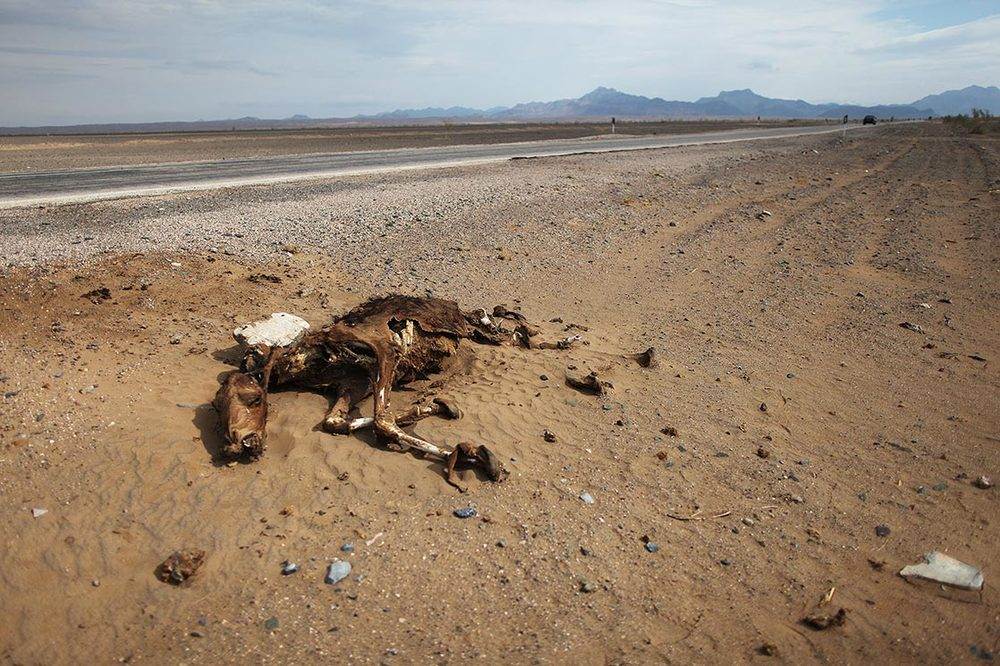 A dead camel on the edge of the road to Tabas | IRAN
