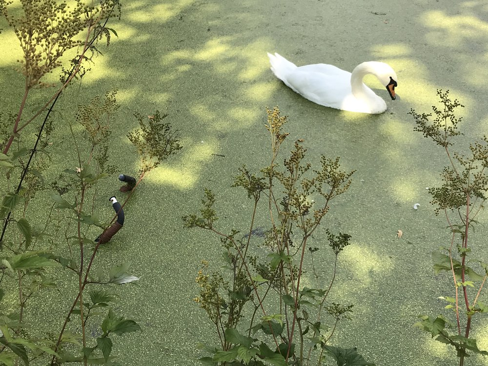 Someone lost their bike, but the swans don't seem to mind.