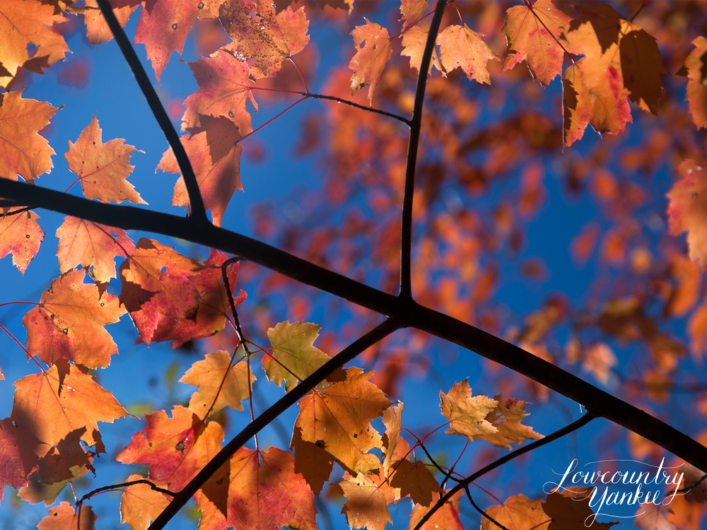 Glorious maple leaves at Walden Pond