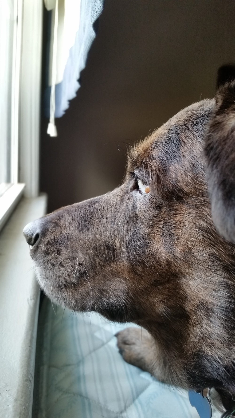 Matilda, a Catahoula mix, the week she was adopted in December 2014.