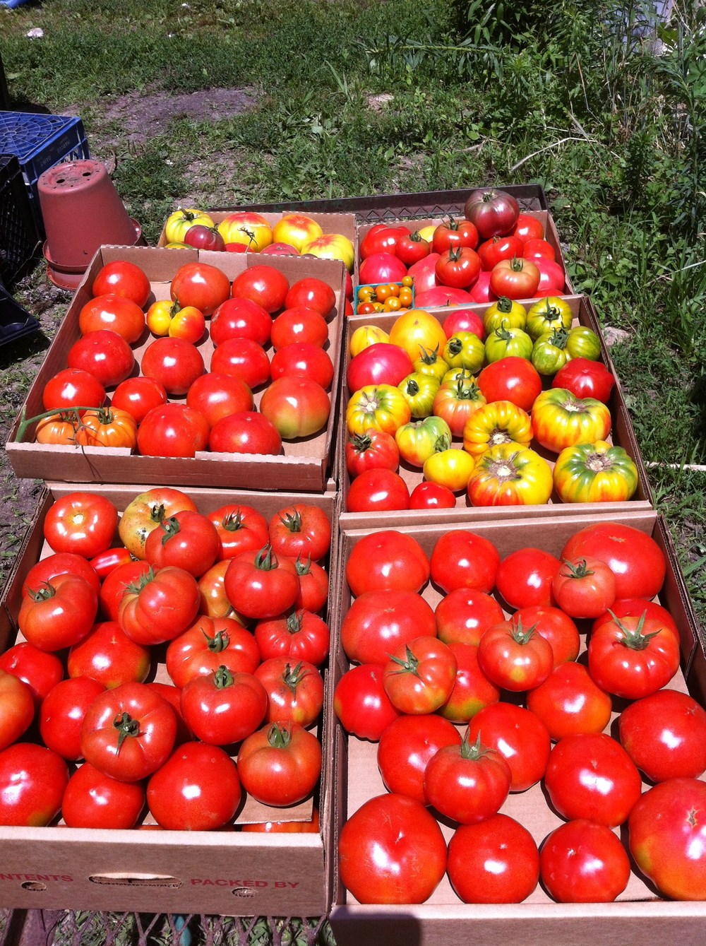 CT Tomatoes