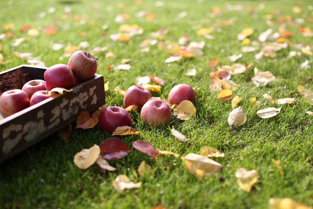 The sweetest apples of this fall