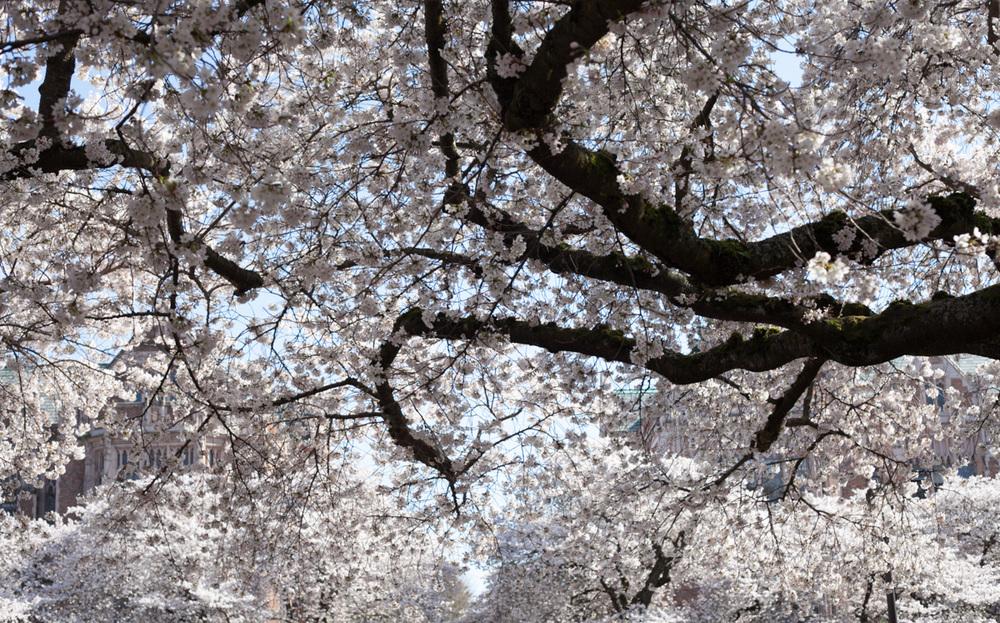 cherry-tree-uw