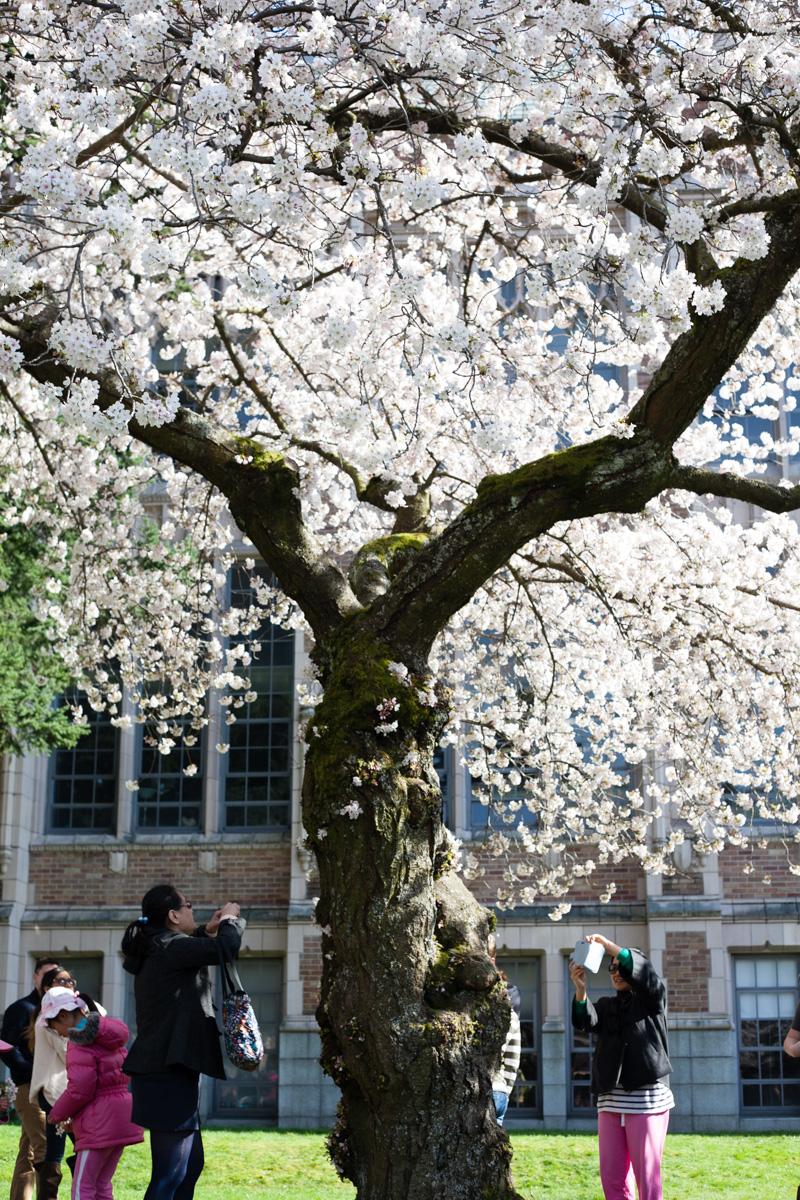 cherry-blossoms-uw-annette-rotz