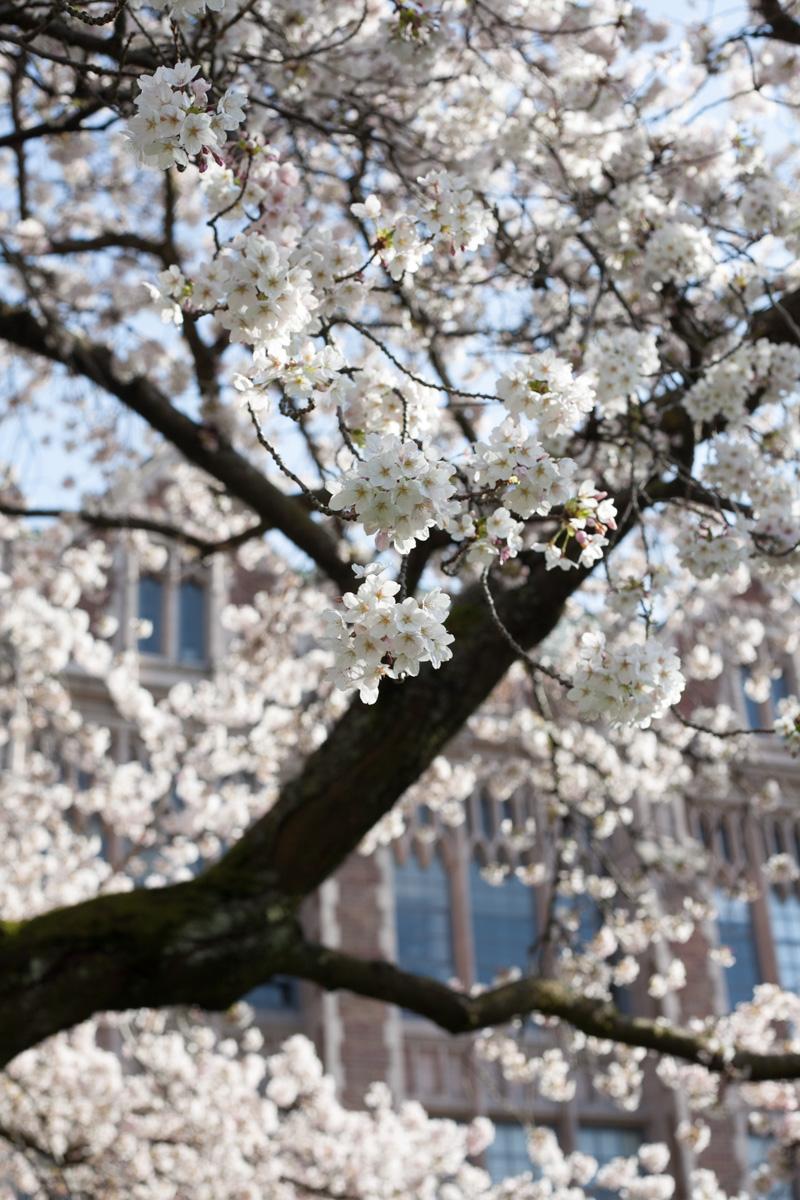cherry-blossoms-uw-annette-rotz.jpg