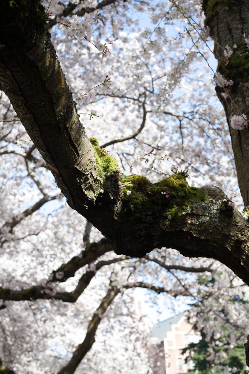 cherry-blossoms-sakura-uw-annette-rotz.jpg